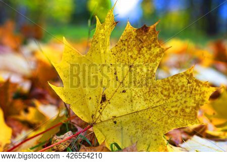 The Ghost Of Autumn Still Lives In The Maple Leaf. Even If Its Summer, Spring Or Winter. Withered Ma