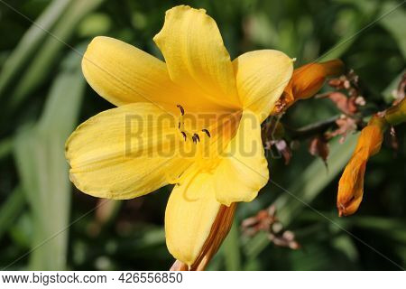 Yellow Daylily, Hemerocallis Middendorffii Unknown Variety, Flower Close Up With A Background Of Lea