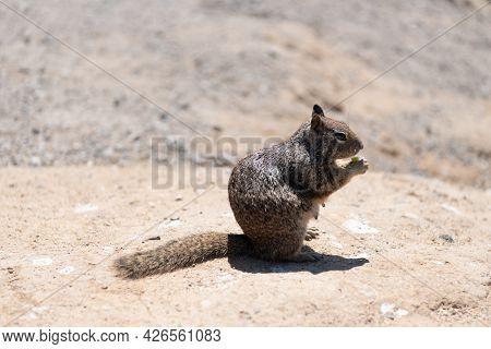 Fluffy Squirrel Rodent Omnivorous Animal Eat Sitting On Ground, Ground-squirrel