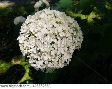 The Flowering Of Hydrangea Arborescens. Hydrangea Tree-like Close-up