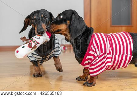 Two Funny Dachshund Dogs In Home T-shirts Play With One Soft Toy In The Shape Of Snowman, Carry It I