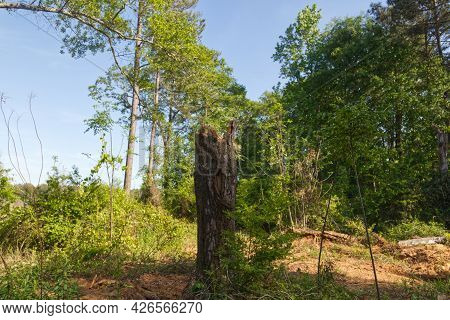 A Chopped Down Tree Still In The Ground In The Forest In South Georgia