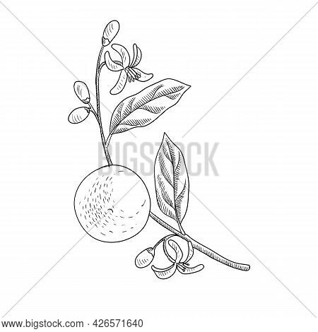 Vector Drawing Branch Of Orange Tree With Leaves, Flowers And Fruit, Hand Drawn Vintage Illustration