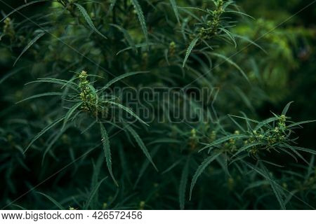 Green Marijuana Plant With Flowers And Leaves. Therapeutic And Medicinal Cannabis. Alternative Medic