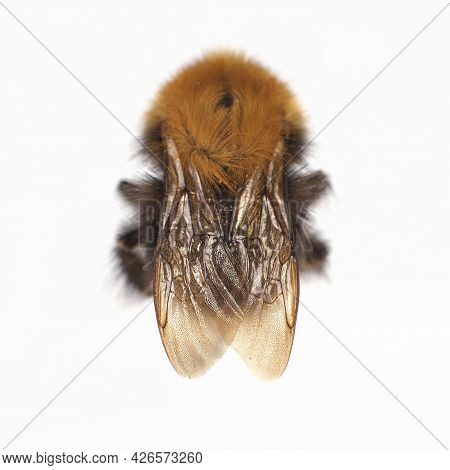 Top View Of Bumblebee, Bombus Terrestris, Isolated On White Background. Focus On Wings.