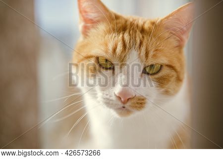 Closeup Portrait Of The Head Of A Red And White Cat With Beautiful Amber Eyes.