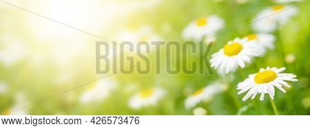 Spring chamomile flowers field. Sunny summer field with daisy blossom and bright bokeh and copy space
