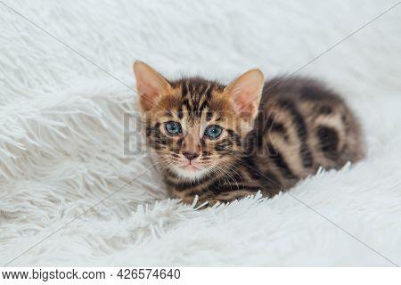 Cute Dark Grey Charcoal Bengal Kitten Sitting On A Furry White Blanket.