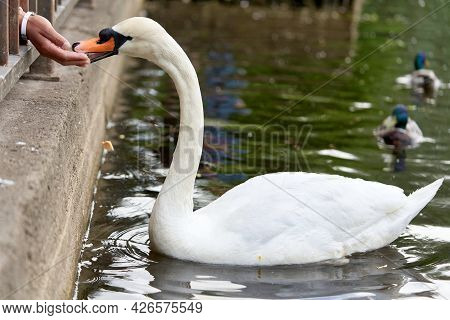 White Swan With A Long Neck And A Red Beak Eats Food From Hands