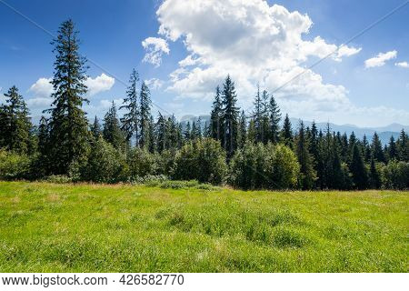 Spruce Forest On The Grassy Hillside Meadow. Beautiful Nature Scenery In Mountains. Summer Landscape