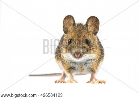 Funny Wood Mouse (apodemus Sylvaticus) Isolated On White Background. This Cute Looking Mouse Is Foun