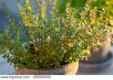 thyme and lemon balm (melissa) herb in flowerpot on balcony, urban container garden concept