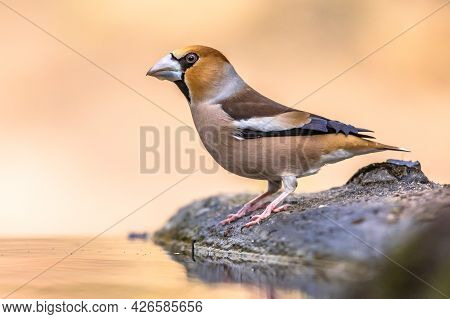 Hawfinch (coccothraustes Coccothraustes),male Bird Of This Great Colorful Songbird, Animal Drinking