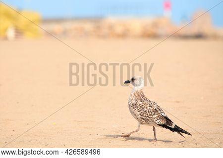 European herring gull at the empty beach