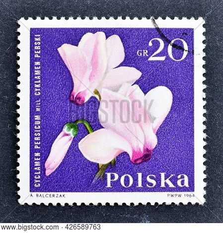 Poland -circa 1964 : Cancelled Postage Stamp Printed By Poland, That Shows Persian Cyclamen , Cyclam