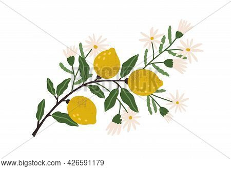 Blooming Lemon Tree Branch With Yellow Citrus Fruits, Blossomed Flowers And Leaves. Plant With Ripe