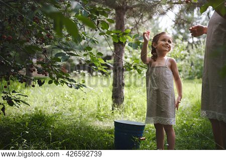 A Charming Girl In A Linen Dress With Pigtails Was Picking Cherries In The Garden And Smiling Sweetl