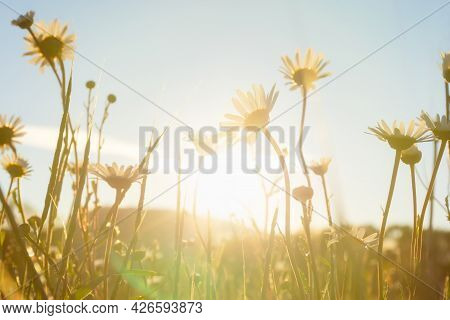 Chamomile Field Sun. Summer Floral Background With Bright Sunlight. The Concept Of Romance, Family,
