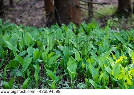 Lily Of The Valley Leaves In The Spring Forest. Lily Of The Valley Foliage.