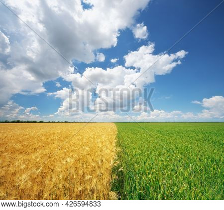 Yellow and green meadow of wheat. Nature conceptual and rural scene.