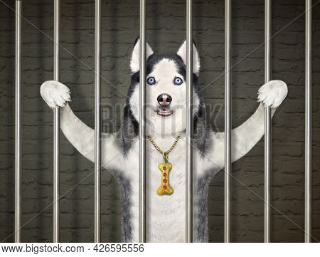 A Dog Husky Was Arrested. He Is Behind Bars In The Prison.
