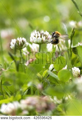 Highlighting Bee Extinction Due To Climate Chaos Large Bumblebee Carrying Nectar Feeding In A Meadow