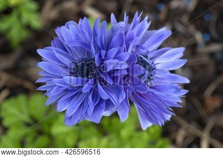 Anemone Lord Lieutenant ,also Known As The Ostrich Feather . Pair Of Deep Blue Flowers Shot In Selec