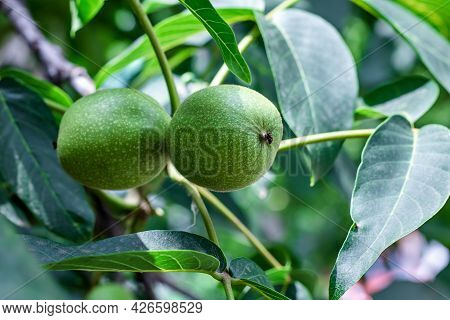 Two Green Walnuts Close-up On A Tree Among The Leaves In Summer. Natural Background