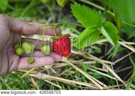 Ripe Red Strawberries In A Garden Bed In A Small Home Garden.