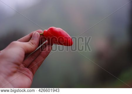 Tengger Chili Is A Large Red Chili That Grows In The Highlands Of The Bromo Tengger Tribe. Chili Wit