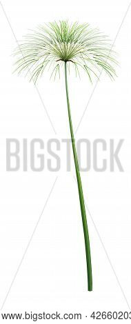 3d Rendering Of A Papyrus Plant Or Cyperus Papyrus Or Nile Grass Isolated On White Background