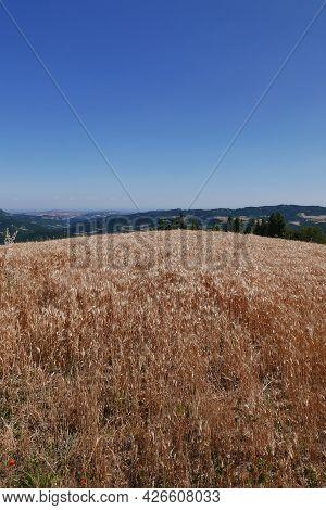 Barley Field Against Blue Sky In Italy