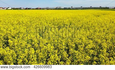 Flying Over The Rapeseed Field During Rapeseed Flowers Blooming