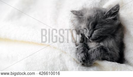 Gray Kitten Sleep On White Color Blanket. Grey Cat Kid Animal With Paws Relax Doze Nap On Bed With C
