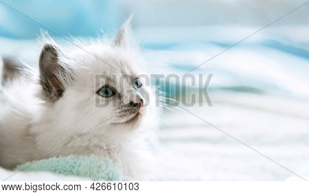 Cute White Kitten With Blue Eyes. Cat Kid Animal With Interested, Question Facial Face Expression Lo