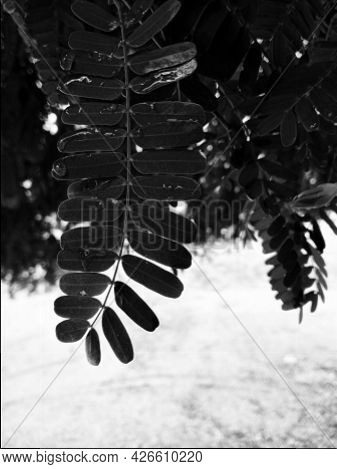 A Black And White Photo Of Tamarind Leaves