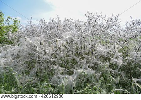 Shrub Completely Covered With Nesting Webs And Eaten Empty From Larvae Of The Ermine Moth (yponomeut