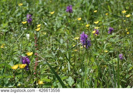 Group Of Marsh Orchids (dactylorhiza Curvifolia), Rare Wildflower With Purple Inflorescence Growing