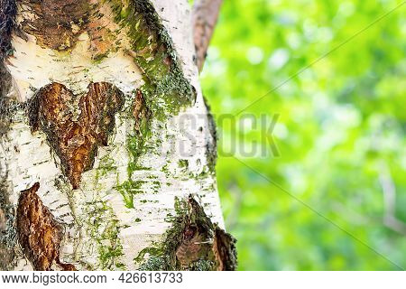 Close Up And Soft Focus Of Birch Trunk With Pattern In Form Of Heart On Tree Bark. Natural Backgroun