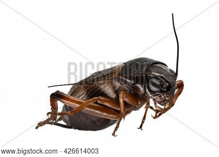 Cricket Macrophotography, Close Up Of Insect Isolated With White Background