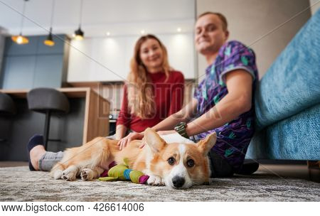 Beautiful Corgi Dog Resting On Carpet With Young Woman And Man On Blurred Background. Loving Young C