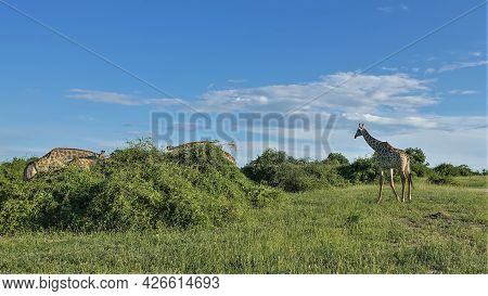Giraffes Graze In The African Savannah. Long Necks Are Inclined Towards Green Bushes. One Animal Wal