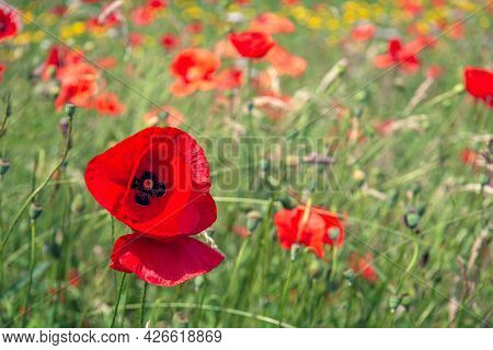 Red Blooming Poppy In The Foreground Of A Field Border With Wild Flowers. The Photo Was Taken At The