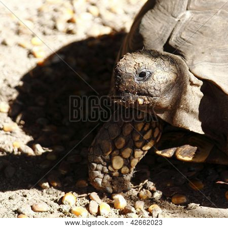 Turtle eating while wandering in its habitat