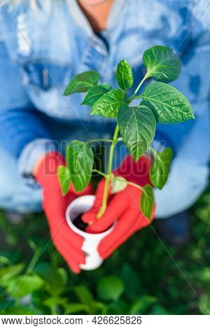 A Caucasian Woman In A Denim Jumpsuit Is Planting In The Garden. A Plastic Cup With A Pepper Sprout,