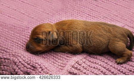 A Newborn Puppy Sleeps On A Warm Knitted Blanket. Caring Care For Pets. The Puppy Is Warm And Cozy.