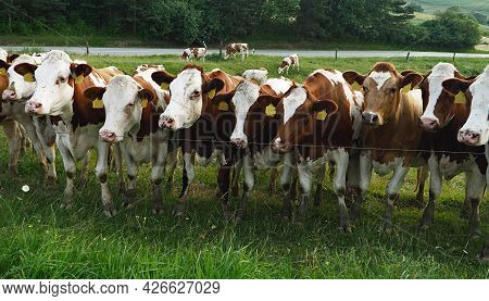 A Large Group Of Cows Standing In A Row In The Field, Cows Looking At Me, White-brown Cows And Green