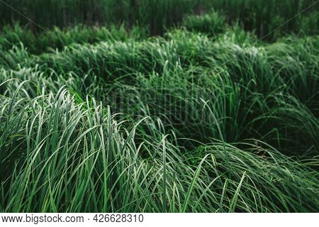 Beautiful Green Reeds Near The Lake. Green Monochrome Background. Selective Focus.