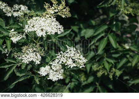 White Elderberry Flowers On A Big Bush, Green Leaves Background. Place For Text.