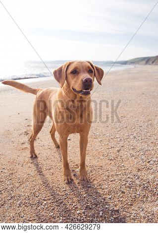 A Fox Red Or Yellow Labrador Retriever Dog Looking Healthy And Fit On A Cornish Beach At Sunset